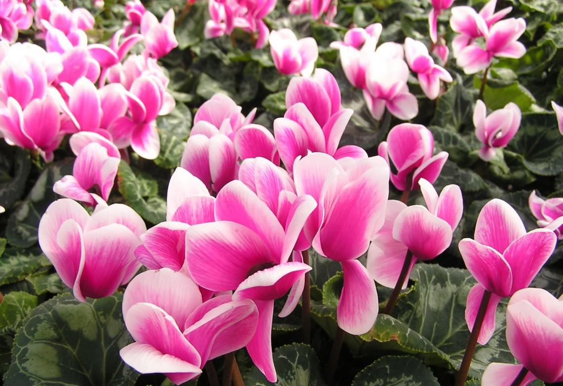 Calicanto Fiore D Inverno piante invernali: le fioriture al gelo - 100ambiente